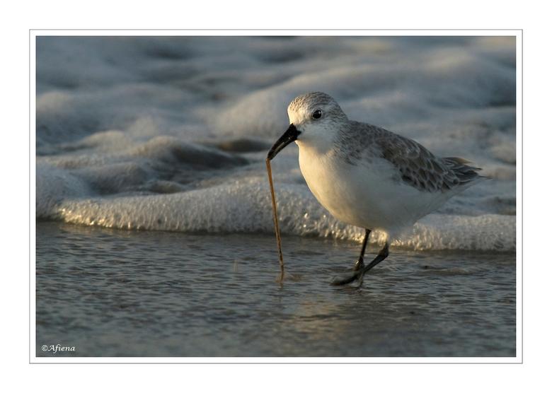 taaie hap... - Deze drieteenstrandloper moest behoorlijk zijn best doen om deze zeepier uit het zand te trekken!<br /> Foto van vorig jaar in Bretagn