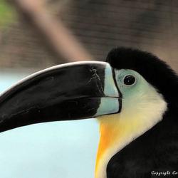 Toekan Blijdorp zoo