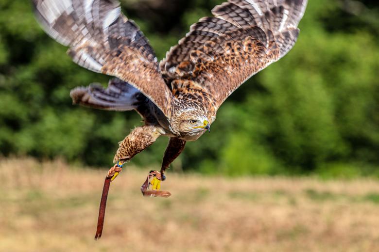 Roofvogel  - Gave roofvogel in vlucht