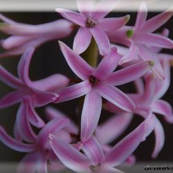 Hyacint achter glas