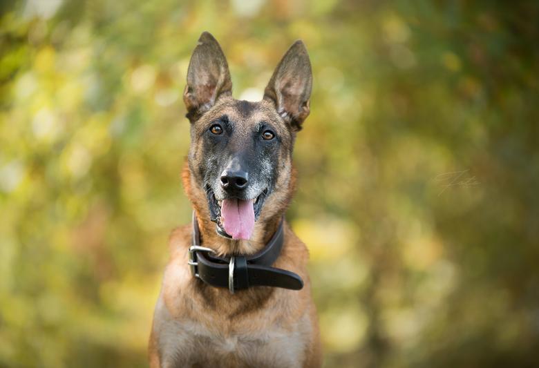 Portret van een diensthond