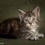 Poseren zit er al vroeg in, Maine Coon kitten 6 weekjes oud