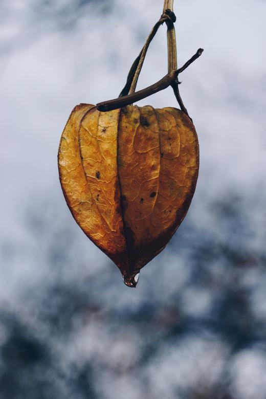 Lampionplant -