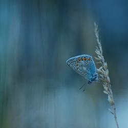 Icarusblauwtje...