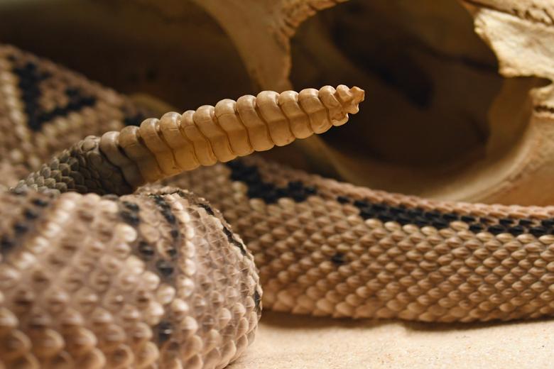 waarschuwen - Slangen benutten hun gif primair om hun prooi te vangen en te doden. Daarnaast is de giftige / dodelijke beet natuurlijk ook een goede z
