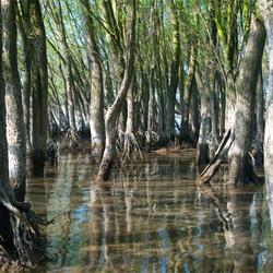 Mangrove in Nederland