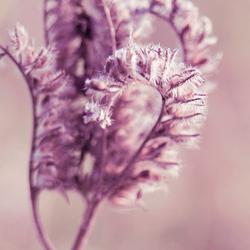 Paarse pluizige bloem