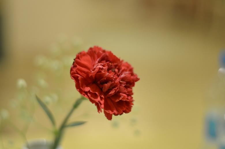 turkse bloem - foto is zoals geschoten, onbewerkt dus.