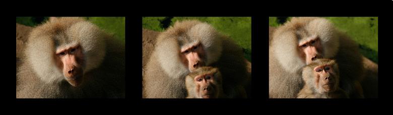 Collage baviaan - Was ik bezig met portret foto&#039;s maken van de mannetjes baviaan (links) wil 1 van zijn vrouwen ook graag op de foto.<br /> Dier