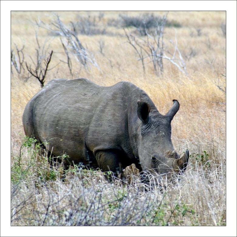 Neushoorn - In tegenstelling tot wat iedereen denkt, is de witte neushoorn niet wit, maar grijs. Zijn naam heeft hij te danken aan de Engelsen. Door z