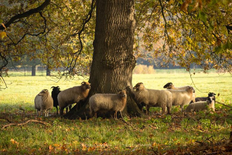 Sheep. - Prachtig zacht ochtendlicht valt door het door de herfst verkleurde bladerdek.<br /> <br /> De schapen zochten beschutting bij elkaar.<br /
