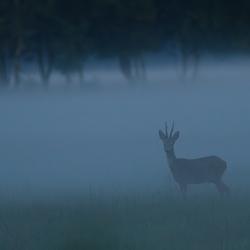 Reebok in mist.