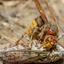 Hoornaar vs Cicade 2