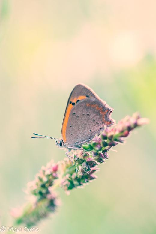 On fire.... - Vanmorgen op pad geweest voor vlindertjes...<br /> Hooibeestje en kleine vuurvlinder kwamen voor mijn lens.<br /> Hier foto van de kle