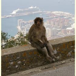 de trieste apen van Gibraltar   1