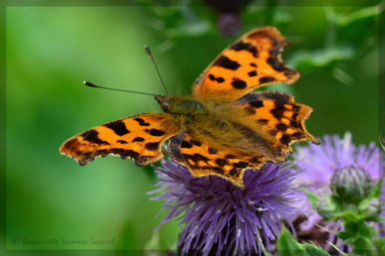 Gehakkelde Aurelia - Tijdens de wekelijkse vlindertelling van het I.V.N. kon ik deze beauty vastleggen. Het is een slecht vlinderjaar. Hopelijk verbet