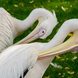 Pelikanen - synchroon