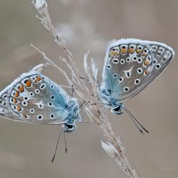 Double Blue