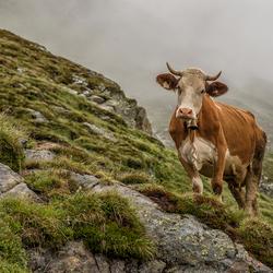 Koe uit Oostenrijk