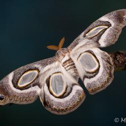 Epiphora Mythimnia