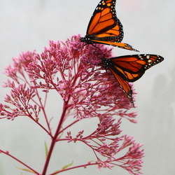 Monarchvlinders
