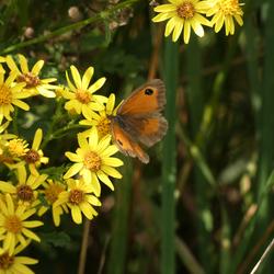 Laatste restje nectar halen door het oranje zand oogje
