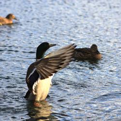 Rise duck, Rise