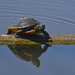 geelhalsschildpad