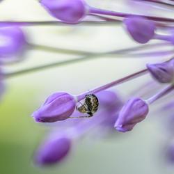 Allium plus one