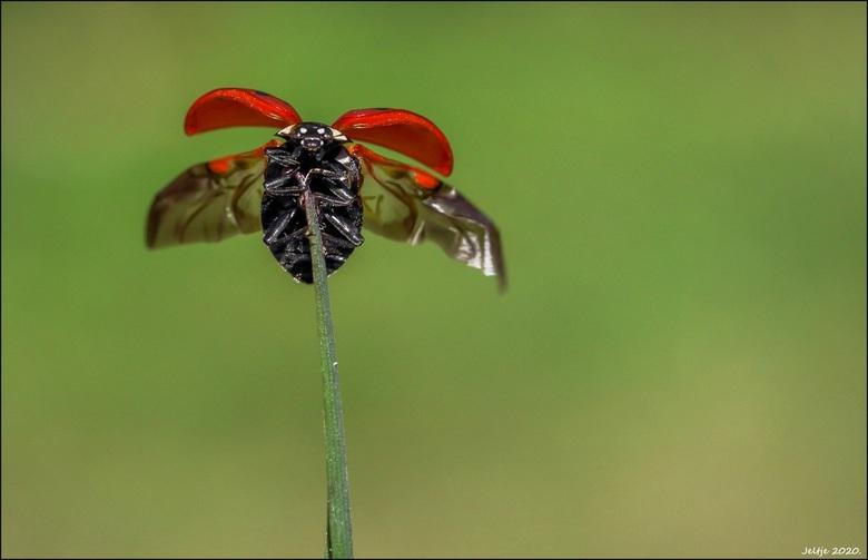 Lieverheersbeestje. -