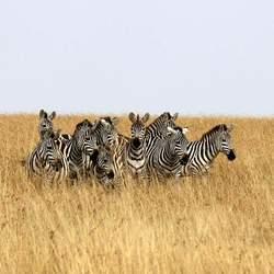Zebra's in Masai Mara