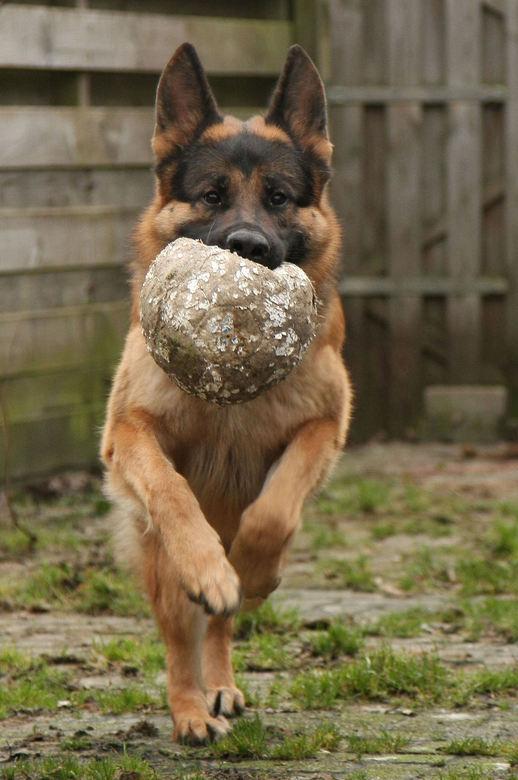 onze hond - gisteren even een paar foto`s gemaakt<br /> van onze hond, hij is helemaal gek op de bal.<br /> foto heb ik alleen bijgesneden<br /> <b