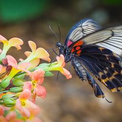 Exotische vlinder 2