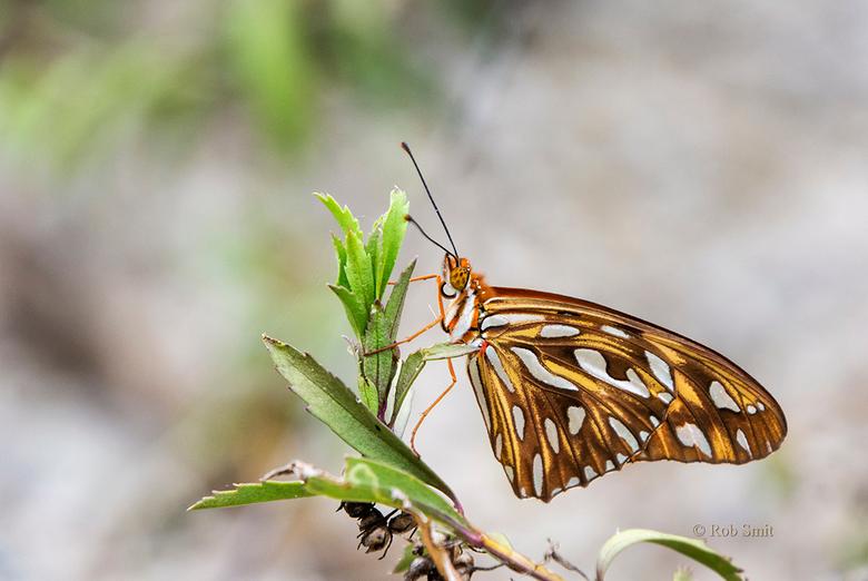 oranje parelmoervlinder