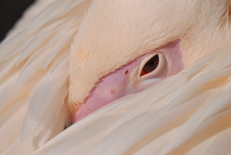 Pelikaan - Deze pelikaan probeert zijn rust te zoeken in de dierentuin. Deze foto heb ik gemaakt omdat het rode oog mooi aftekent tegen het roze + van