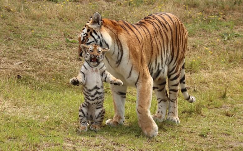 Siberische tijger - één van de tijgerwelpjes wordt door moeder weggehaald bij het water.<br /> Safaripark Beekse Bergen