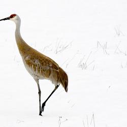 Kraanvogel in de sneeuw