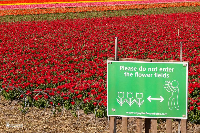 Bloembollenvelden - Eigenlijk diep triest als je als kweker met vlijmscherp prikkeldraad je bloemen moet beschermen tegen bezoekers en toeristen die s