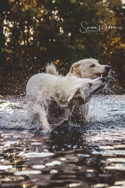 Stick Fight  - Twee witte herders in het water die vechten om<br /> een stok.