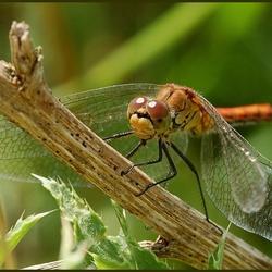 Mijn eerste libelle