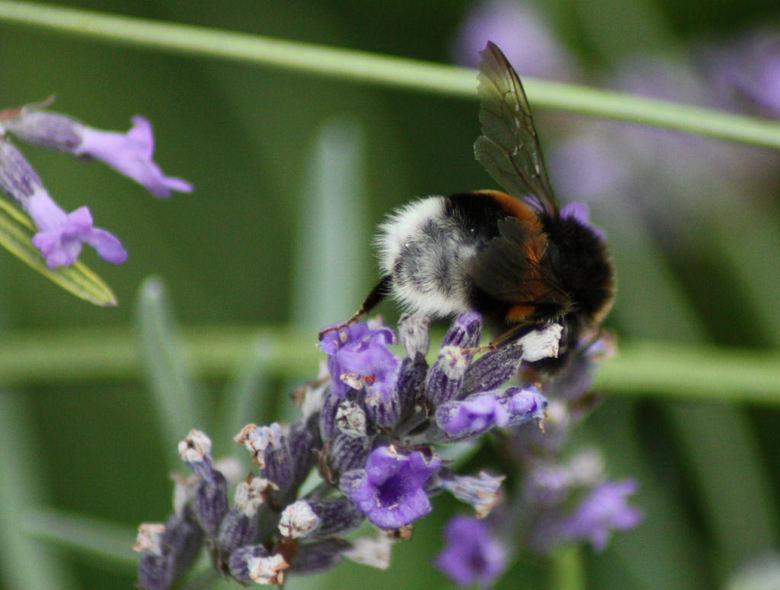 bijtje als snoeperd - de lavendel is veel bijtjes van dienst.