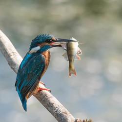 Ijsvogel met vis!