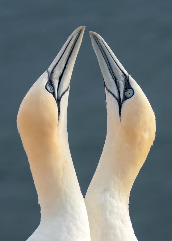 Begroeting - Prachtig om te zien hoe deze vogels elkaar begroeten als er eentje weer land op het nest.<br /> <br /> Bedankt voor de leuke en bemoedi
