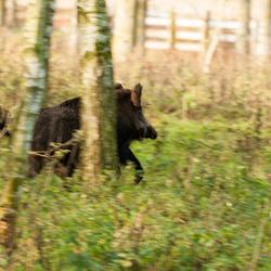 zwijn vlucht het bos in
