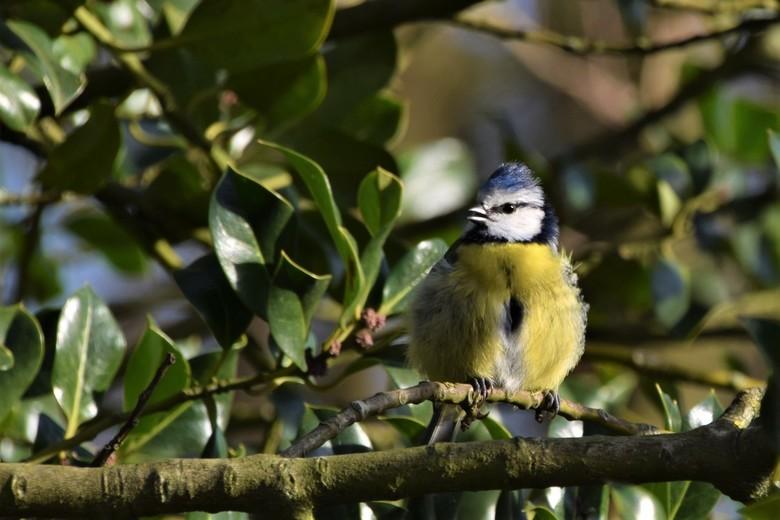Zingende Pimpelmees - In het vroege voorjaar genieten van alle vogelgeluiden. Dit Pimpelmeesje floot het hoogste lied.