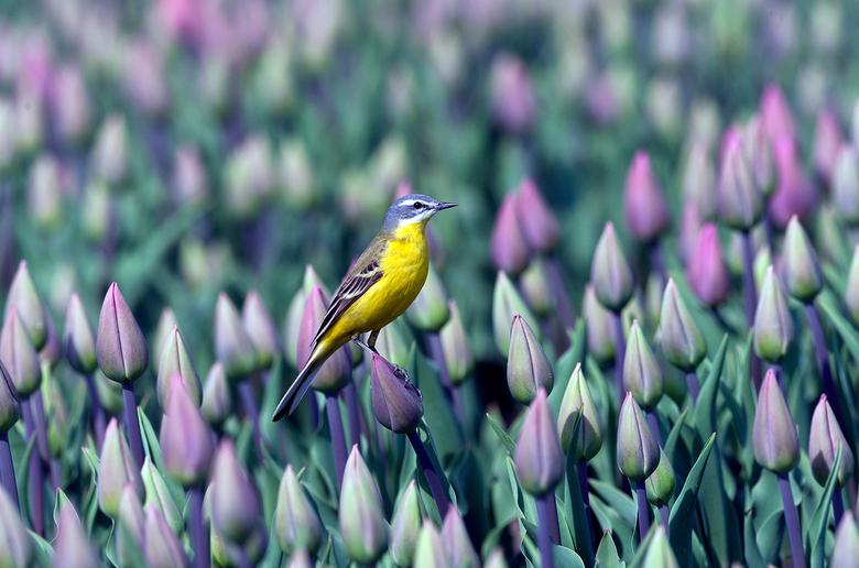 Tussen de Tulpenvelden - Wat jaartjes terug deze foto genomen in de Tulpenvelden bij Urk in de buurt<br /> <br /> Gr Sam en even in het groot zien