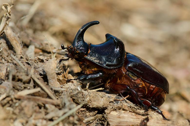 neushoornkever - Deze week een neushoornkever aangetroffen bij de composthoop.<br /> Dit mannetje ziet er heel indrukwekkend uit.