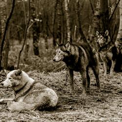 Husky Stake-Out