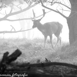 Damhert in de mist (zwart wit)