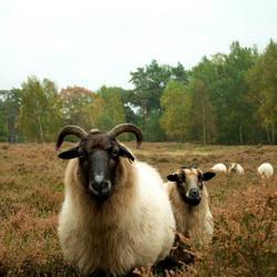 Nieuwsgierige schapen
